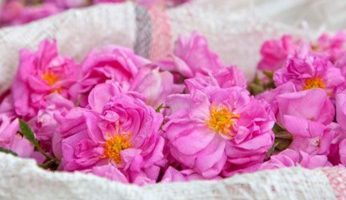 damascus-rose-m2woman